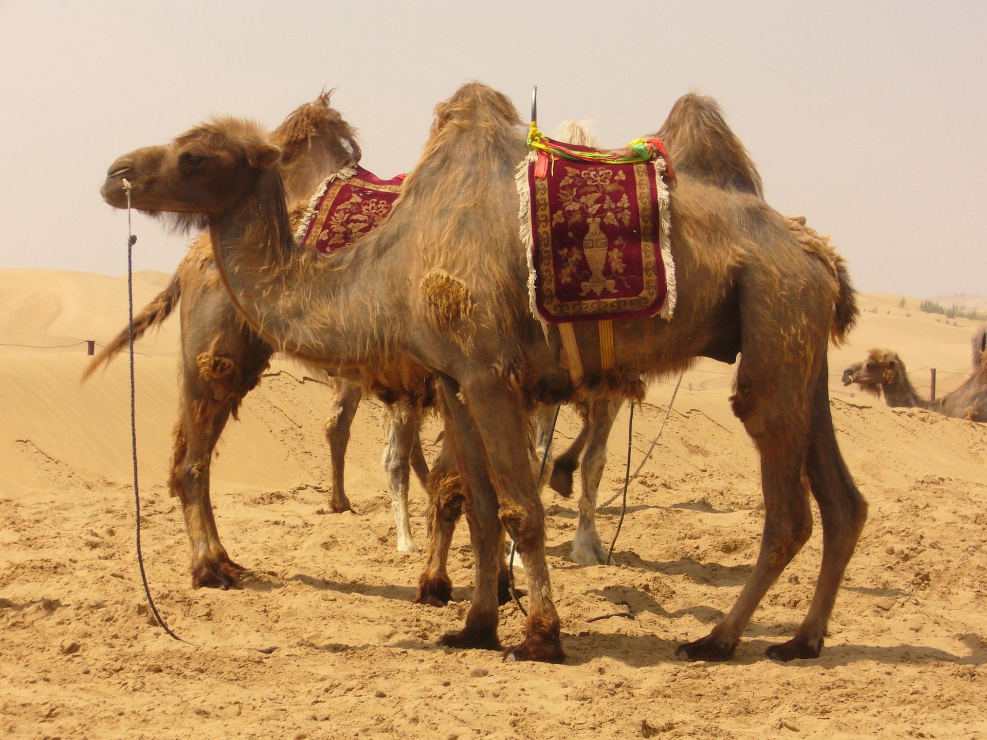 camel-4320_1920